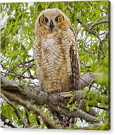 Great Horned Owlet Acrylic Print by Ricky L Jones