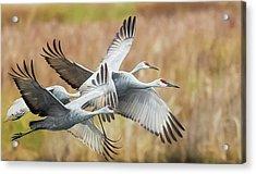 Great Migration  Acrylic Print