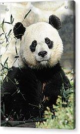 Great Panda II Acrylic Print