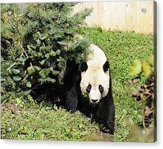 Great Panda Iv Acrylic Print by Keith Lovejoy