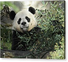 Great Panda Acrylic Print by Keith Lovejoy