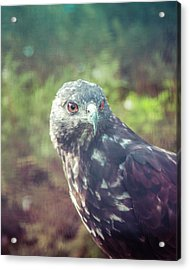 Great Plains Red-tailed Hawk Acrylic Print by Betsy Armour