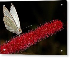 Acrylic Print featuring the photograph Great Southern White by Judy Vincent