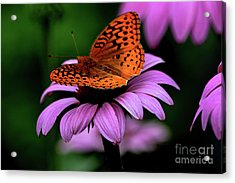 Great Spangled Fritillary Acrylic Print by Brenda Bostic