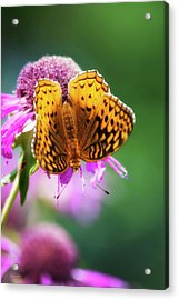 Great Spangled Fritillary Butterfly Acrylic Print by Christina Rollo