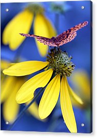 Great Spangled Fritillary On Yellow Coneflower Acrylic Print