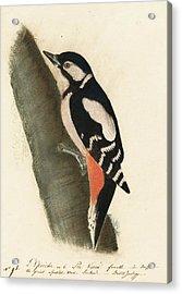 Great Spotted Woodpecker Acrylic Print by John James Audubon