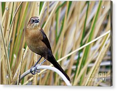 Great-tailed Grackle Acrylic Print by Afrodita Ellerman