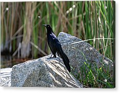 Great-tailed Grackle Acrylic Print