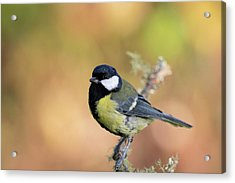 Great Tit - Parus Major Acrylic Print