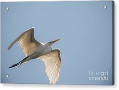 Acrylic Print featuring the photograph Great White Egret - 2 by David Bearden