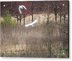 Acrylic Print featuring the photograph Great White Egret - 3 by David Bearden