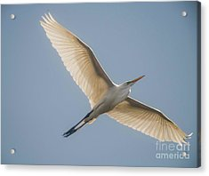 Acrylic Print featuring the photograph Great White Egret by David Bearden