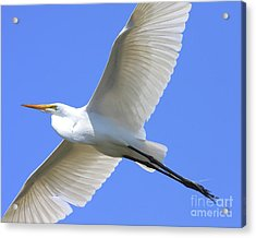 Great White Egret In Flight . 40d6850 Acrylic Print by Wingsdomain Art and Photography