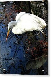 Great White Egret Acrylic Print by Juergen Roth