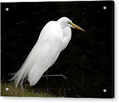 Acrylic Print featuring the photograph Great White Egret by Rosalie Scanlon