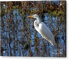 Great White Egret Acrylic Print by Wingsdomain Art and Photography