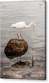 Great White Heron Acrylic Print by Elena Elisseeva