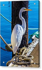 Great White Heron Acrylic Print by Garry Gay