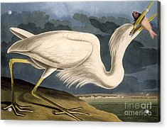 Great White Heron Acrylic Print by John James Audubon