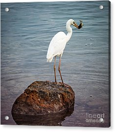 Great White Heron With Fish Acrylic Print