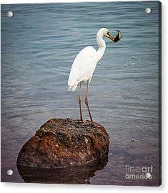 Great White Heron With Fish Acrylic Print by Elena Elisseeva