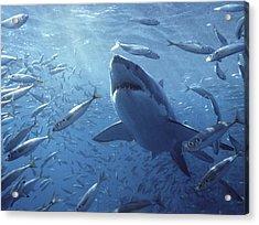 Great White Shark Carcharodon Acrylic Print