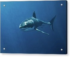 Great White Shark Acrylic Print by John White Photos