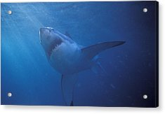 Great White Shark With Light Rays Acrylic Print by James Forte