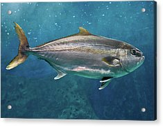 Greater Amberjack Acrylic Print by Stavros Markopoulos