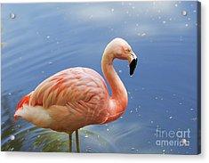 Greater Flamingo Acrylic Print by Afrodita Ellerman
