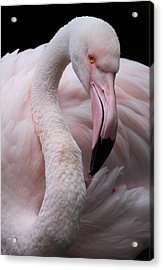 Greater Flamingo Acrylic Print by Animus  Photography