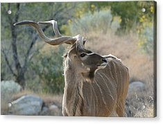 Acrylic Print featuring the photograph Greater Kudu 4 by Fraida Gutovich
