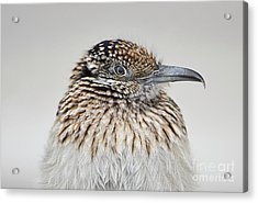 Greater Roadrunner Acrylic Print