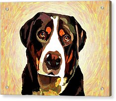 Greater Swiss Mountain Dog Acrylic Print