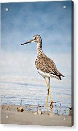 Greater Yellow Legs At Rachel Carson Estuarine Reserve Acrylic Print
