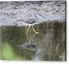 Greater Yellowleg Acrylic Print