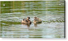 Grebes And Ripples Acrylic Print