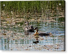 Grebe's On The Water Acrylic Print
