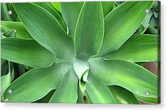 Green Agave Leaves Acrylic Print