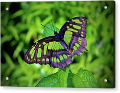 Green And Black Butterfly Acrylic Print