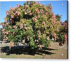 Green And Pink Tree Golden Rain Tree Acrylic Print by Warren Thompson