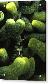 Green Anemone Column Aggregation Acrylic Print by James Forte