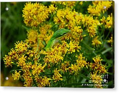Green Anole Hiding In Golden Rod Acrylic Print