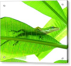Green Anole On Leaf With Silhouette Acrylic Print by Joseph Connors