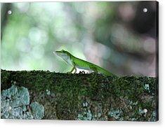 Green Anole Posing Acrylic Print