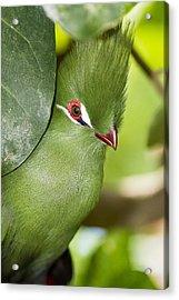 Green Turaco Bird Portrait Acrylic Print