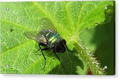 Acrylic Print featuring the photograph Green Bottle Fly by Maciek Froncisz