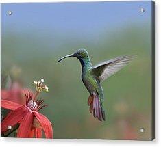 Green Breasted Mango Hummingbird Male Acrylic Print by Tim Fitzharris