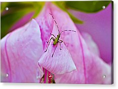 Green Bug On Rose Petal Acrylic Print by Michael Whitaker
